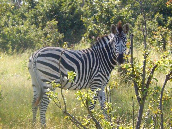 Wilderness Safaris Little Vumbura Camp: Zebra on a game drive