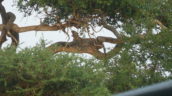 Elandela Private Game Reserve: The leopard relax