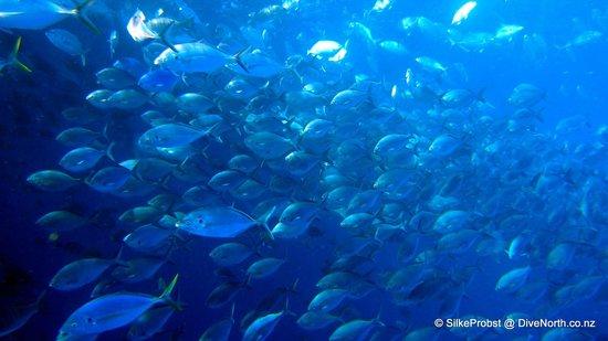 Dive North : Translucent fish!