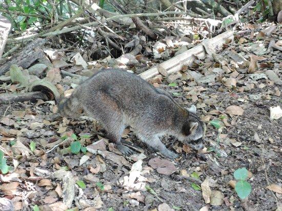 Cahuita National Park: Un mapache