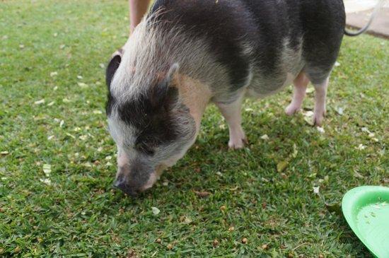 The Ritz-Carlton, Kapalua: Pet pigs on property