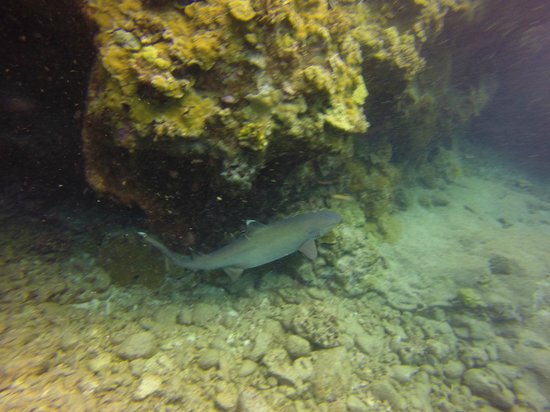 Kona Honu Divers: White Tip Reef Shark on dive with Scott