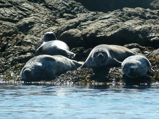 Victoria Waterfront Tours : Harbour Seals at Seal Island