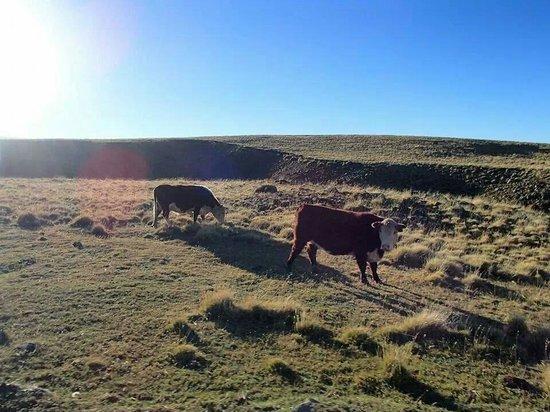 Safari Experience - Patagonia Profunda: Vacas pastando