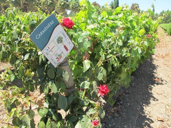 Estampa Winery: Grape vines