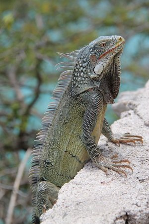 Bahia Apartments & Diving: One of many iguanas while dining