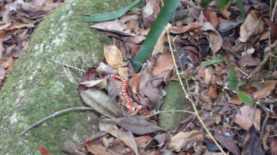 Caxadaco Beach : serpiente de coral en el camino