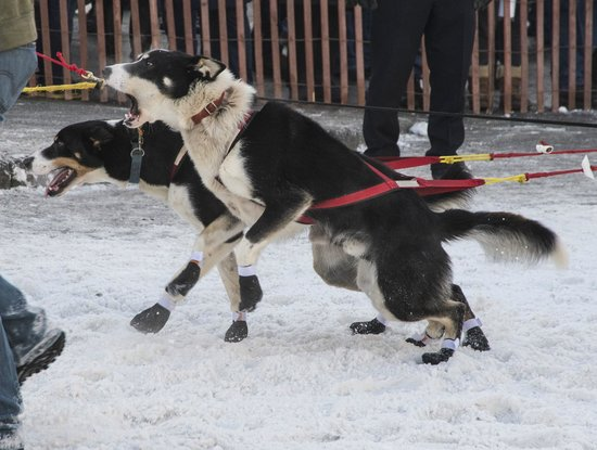 Planet Earth Adventures: Sled dogs in the Iditarod.