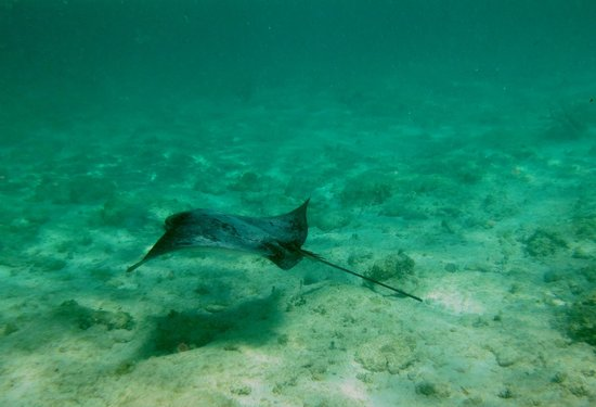 Turtle Nest Inn : Spotted Eagle Ray at the Reef