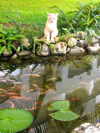 Secrets St. James Montego Bay : Beautiful grounds... visit the fish and cats at the pond!