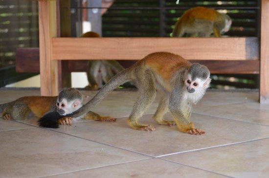 Tulemar Bungalows & Villas : Monkeys on our deck