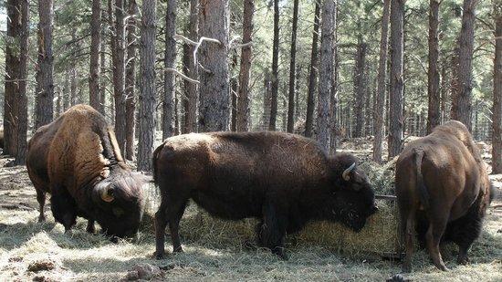 Bearizona Wildlife Park: bison