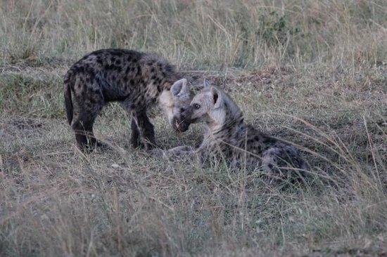 Mara Serena Safari Lodge: Hyena research pups