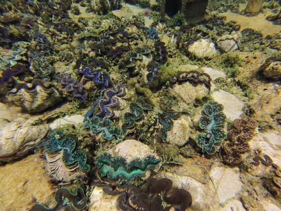 Aitutaki Lagoon: Colors of the smaller Giant Clams.