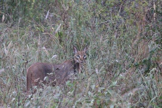 Kilaguni Serena Safari Lodge : The caracal I spotted