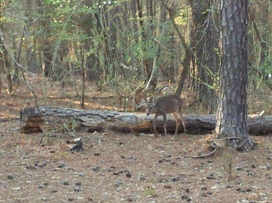 Hickory Knob State Resort Park: Deer roam unthreatened
