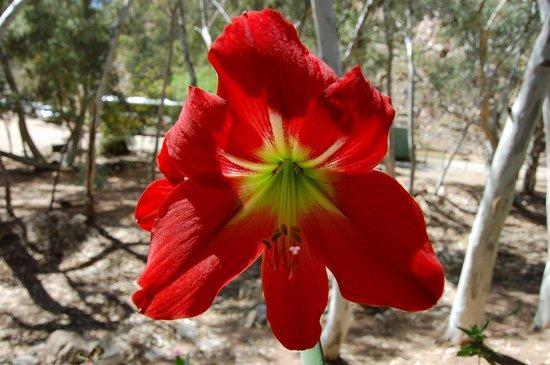 Tjoritja/West MacDonnell National Park: Flower at Standley Chasm