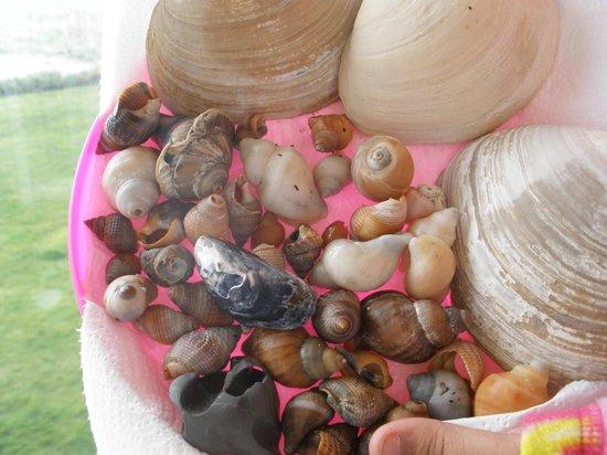 Hi-Tide Ocean Beach Resort : shells