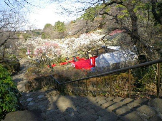 Okurayama Park : 大倉山梅林