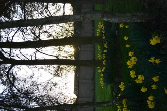 Bowburn Hall: Lovely daffodils in spring