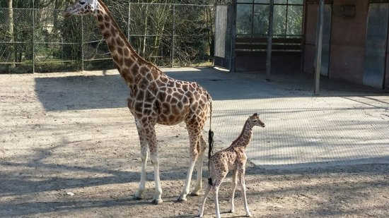 Rhenen, The Netherlands: Moeder Twigga en dochter Sudi