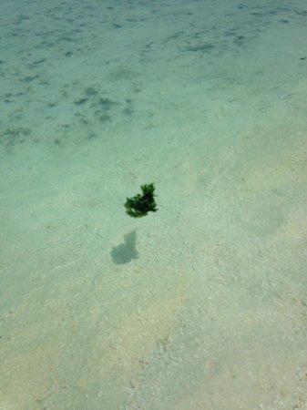 Vakarufalhi Island Resort: spiaggia con infestazione alghe