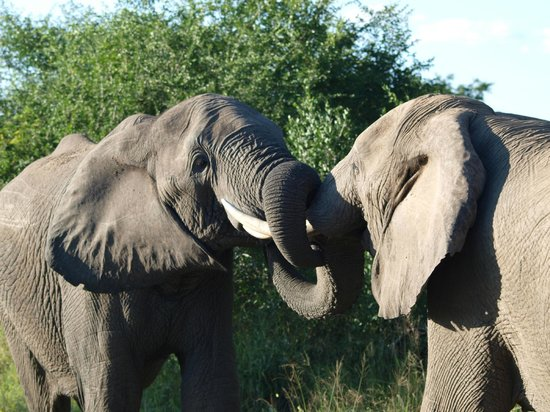 Dulini River Lodge: Elephant Dispute