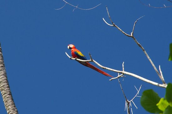 Drake Bay Backpackers: Scarlet macaw