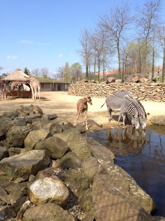 Artis Zoo: Giraffes and zebra's now have a lot of space. Artis is looking for sponsors to do the same for t