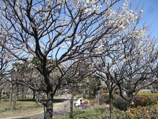 Kiba Park: 開花した白梅