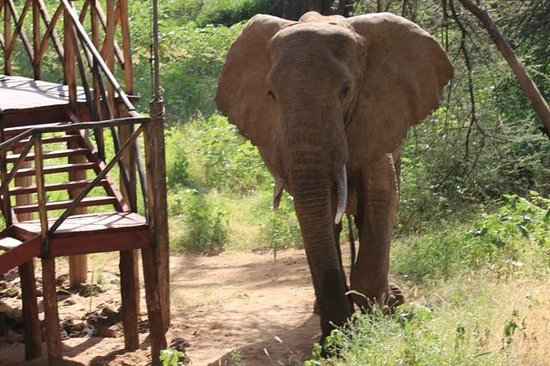Elephant Bedroom Camp : Elephants amble past the rooms