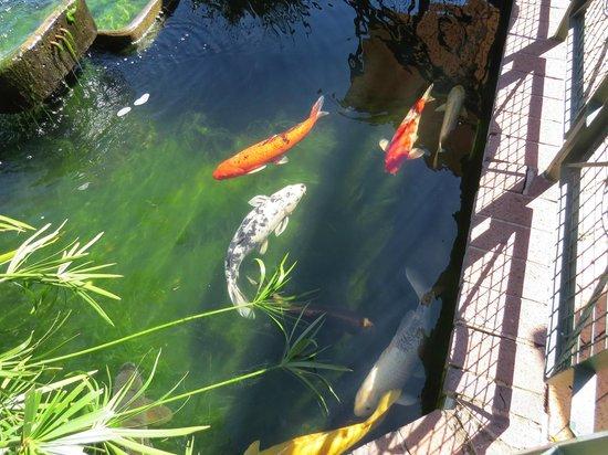 Centurion Lake Hotel : Koi pond