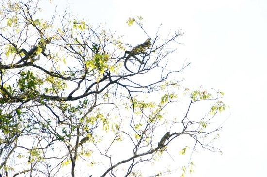 Turtle Beach Lodge: lizards hangig on trees