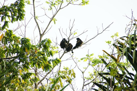 Turtle Beach Lodge: howler monkeys
