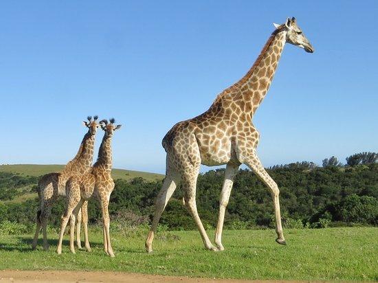 Mother And Baby Giraffe Picture Of Miarestate Haga Haga Tripadvisor