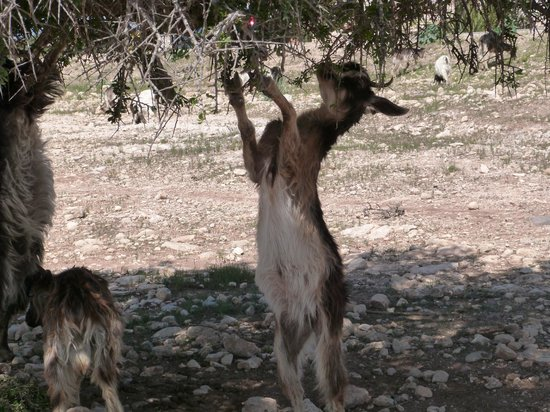 Riad Baladin: Argan oil goat