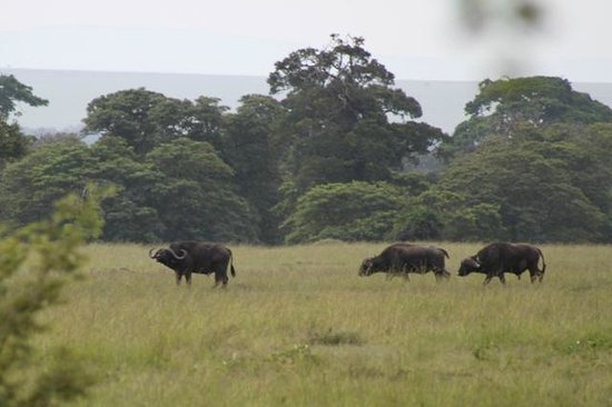 andBeyond Bateleur Camp: Buffalo seen from the room