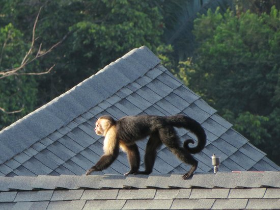Hotel Si Como No: Monkeys in the morning