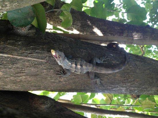 Hotel Riu Palace Costa Rica: Feeding the iguanas