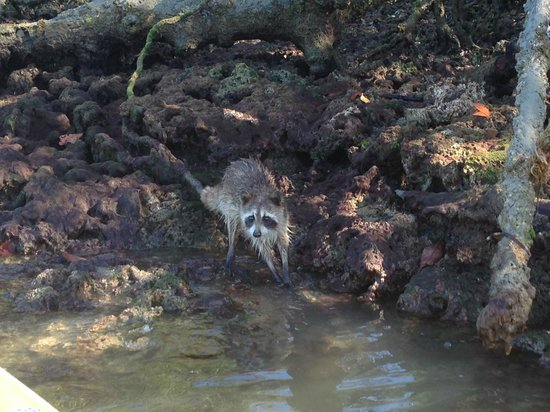 Everglades Area Tours : island raccoons oyster shelling