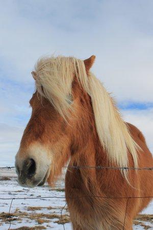Iceland Horizon : Icelandic Horse