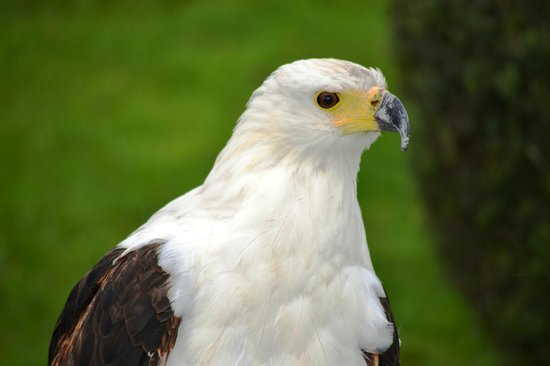 Falcon Ridge Bird of Prey Centre: Beautiful African Fish Eagle