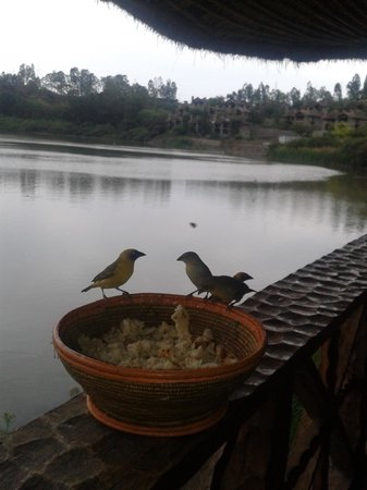 Kuriftu Resort: Weaver birds - greedy and cheeky