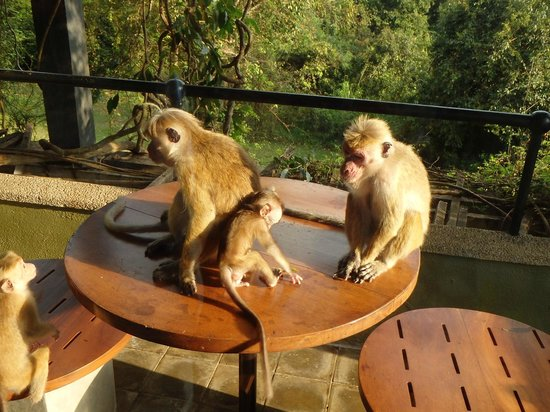 Heritance Kandalama : Ah, the baby wee'd on the table......