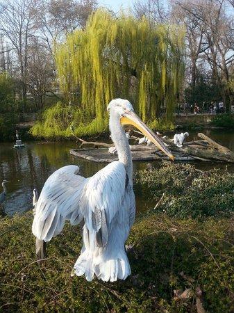 Zoologischer Garten (Berlin Zoo): Pelican