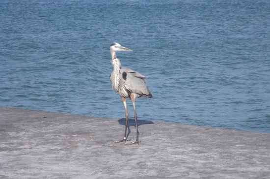 Saint Pete Beach: Great Blue Heron