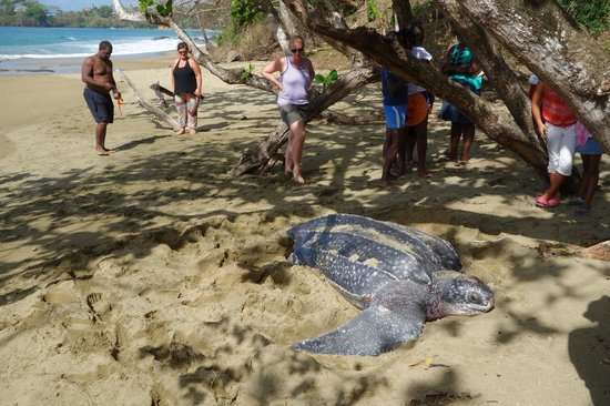 Arnos Vale, Tobago: Huge leatherback laying on Black rock beach