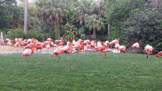 Busch Gardens : Flamingos