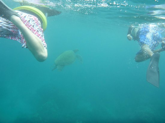 Pacific Whale Foundation : Swimming with Turtles