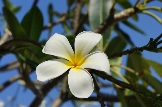 BYD Lofts Boutique Hotel & Serviced Apartments: Plumeria trees by the pool smelled so wonderful